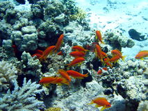 Red fish and coral reef Royalty Free Stock Photo