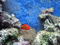 Red fish and corals. Red fish and coral at the aqvarium Royalty Free Stock Images