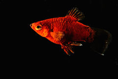 Red fish in dark water royalty free stock photo