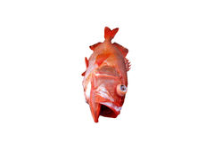 Red fish, Deep water fish isolated on white background,fish spec. Ies living in deep sea Royalty Free Stock Images