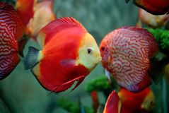 Red fish. Discuss fish is swimming in fresh water, red fishes Stock Images