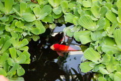 Red fish in the  green pond. Royalty Free Stock Photo