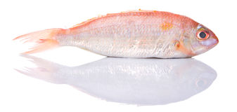 Red Fish III Stock Image
