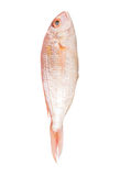 Red Fish IV Royalty Free Stock Photos
