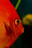 Red fish. Fish red little round aquarium Stock Photo