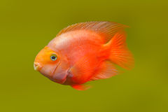 Red fish. Is a photographed close-up Royalty Free Stock Images