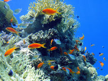 Red fish in Red sea Stock Image