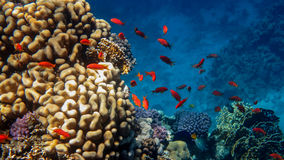 Red Fish. School of Fairy Bassletts in the Coral Reef, Red Sea stock photos