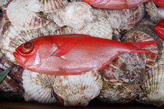 Red fish Royalty Free Stock Photography