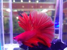 Red Fighting Fish on the water stock photos