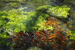Red fish swarm Stock Photos