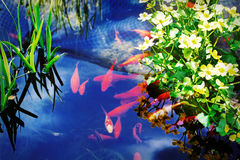Red fish swimming in pond Stock Photo