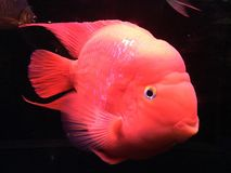 Red fish swims in the dark water royalty free stock photo