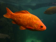 Red Fish Royalty Free Stock Photos
