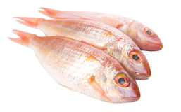 Red Fish VI Royalty Free Stock Photo