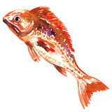 Red fish. watercolor painting. On white background Stock Photography