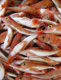 Red Fish with Yellow Eyes Royalty Free Stock Images