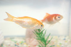 Red fishes. Two red fishes, one on the background, in a home plastic aquarium Royalty Free Stock Image