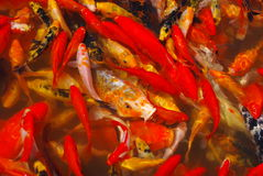 Red fishes Stock Images