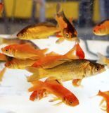 Red fishes Royalty Free Stock Photography