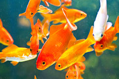 Red fishes in aquarium Stock Photo