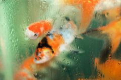 Red fishes behind dew glass aquarium. Three red fish behind the glass aquarium Royalty Free Stock Photos