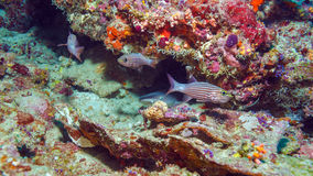 Red Fishes and Nurse Shark near Coral Reef, Maldives Stock Image