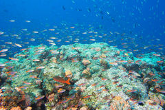 Red fishes on reef on the deep blue ocean Stock Photography