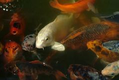 Red fishes very excited on water royalty free stock images
