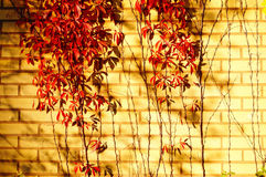 Red five-leaved climbs up and their shadow on brick wall. Royalty Free Stock Image