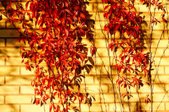 Red five-leaved climbs up and their shadow on brick wall. Royalty Free Stock Images