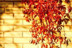 Red five-leaved climbs up and their shadow on brick wall. Stock Photo