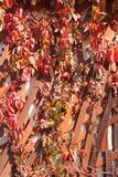 Red five-leaved ivy. Bright red leaves of viny plant five-leaved ivy Parthenocissus quinquefolia in autumn stock photo