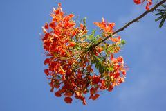 Red Flamboyant flower. Close up Red Flamboyant flower,The Flame Tree , Royal Poinciana Royalty Free Stock Image