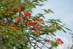 Red Flamboyant flower. Close up Red Flamboyant flower,The Flame Tree , Royal Poinciana Royalty Free Stock Images