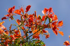 Red Flamboyant flower. Close up Red Flamboyant flower,The Flame Tree , Royal Poinciana Stock Photo