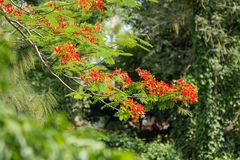 Red Flamboyant flower. Close up Red Flamboyant flower,The Flame Tree , Royal Poinciana Royalty Free Stock Photos