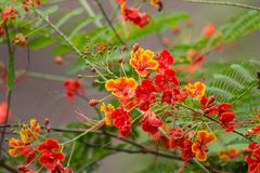 Red Flamboyant flower. Close up Red Flamboyant flower,The Flame Tree , Royal Poinciana Stock Image
