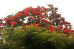 RED FLAMBOYANT TREE FLOWERING BEHIND BRIGHT GREEN FOLIAGE. Image of the Flamboyant tree flowering red and with green foliage in summer royalty free stock photos