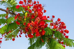 Red flamboyant tree. Full bloom on April Royalty Free Stock Image