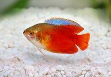 Red Flame gourami Trichogaster lalius freshwater aquarium fish Stock Image