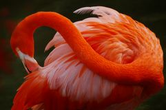 Red Flamingo. Portrait of A Red Flamingo Royalty Free Stock Images