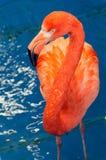 Red Flamingo Stock Photos