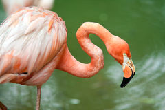 Red flamingo Stock Photo