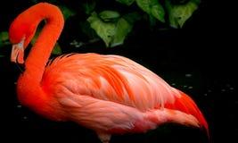 Red flamingo bird. Bright red flamingo bird in a striking pose in the garden pond Stock Image