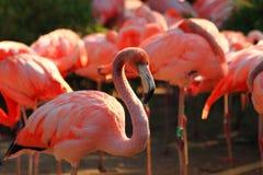 Red flamingo bird Stock Image