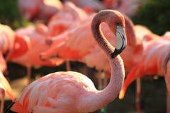 Red flamingo bird Royalty Free Stock Photos