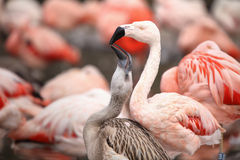 Red flamingo with colored background Stock Photography