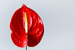 Red flamingo flower Stock Image