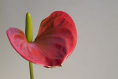 Red Flamingo Flower detail in grey back Royalty Free Stock Photography